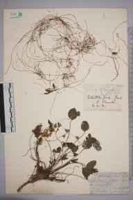 Cuscuta epithymum herbarium specimen from Whittlesford, VC29 Cambridgeshire by Rev. William Williamson Newbould.