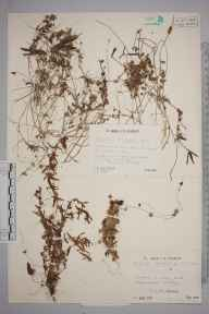 Cuscuta epithymum herbarium specimen from Nore Hill, VC17 Surrey in 1943 by Mr Job Edward Lousley.