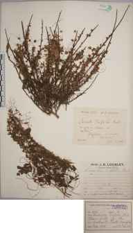 Cuscuta epithymum herbarium specimen from Pagham, VC13 West Sussex in 1901 by Rev. Edward Francis Linton.