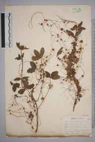 Cuscuta epithymum herbarium specimen from West Looe, VC2 East Cornwall in 1900 by Mr Allan Octavian Hume.