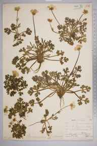 Ranunculus bulbosus herbarium specimen from Lizard, VC1 West Cornwall in 1899 by Mr Allan Octavian Hume.
