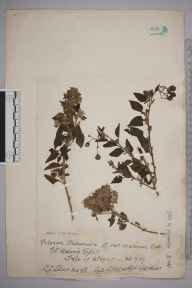 Solanum dulcamara herbarium specimen from Saint Helen's Spit, VC10 Isle of Wight in 1917 by Charles Baylis Green.