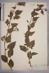 Solanum dulcamara herbarium specimen from Lewes, VC14 East Sussex in 1845 by Joseph Woods.