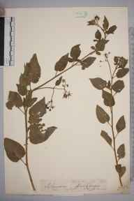 Solanum dulcamara herbarium specimen from Niton, VC10 Isle of Wight in 1846 by A Hamburgh.