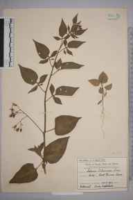 Solanum dulcamara herbarium specimen from Raynes Park, VC17 Surrey in 1907 by Mr Charles Edward Britton.