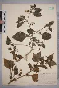 Solanum nigrum herbarium specimen from Steephill, VC10 Isle of Wight in 1838 by A Hamburgh.