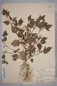 Solanum nigrum herbarium specimen from Cottenham Park, VC17 Surrey in 1907 by Mr Charles Edward Britton.
