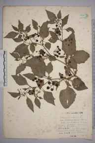 Solanum nigrum herbarium specimen from Warlingham, VC17 Surrey in 1934 by Mr Charles Edward Britton.