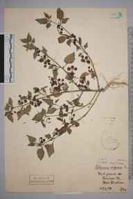 Solanum nigrum herbarium specimen from West Wickham, VC16 West Kent in 1908 by Stafford Edwin Chandler.