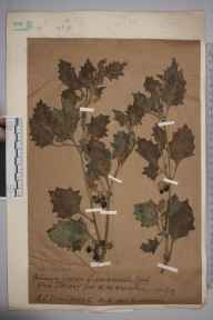 Solanum nigrum var. miniatum herbarium specimen from Jersey, VC113 Channel Islands in 1917.