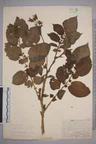 Solanum tuberosum herbarium specimen from Limpsfield, VC17 Surrey in 1909 by William Henry Griffin.