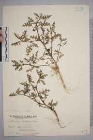 Solanum triflorum herbarium specimen from Holy Island, VC68 North Northumberland in 1933 by Mr Edward Charles Wallace.