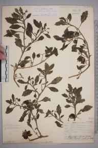 Solanum triflorum herbarium specimen from Leith Docks, VC83 Midlothian in 1906 by James Fraser.