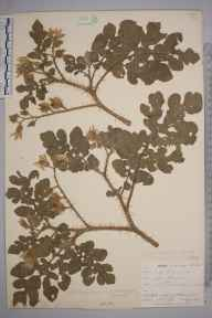 Solanum rostratum herbarium specimen from Hessenford, VC2 East Cornwall in 1901 by Mr Allan Octavian Hume.