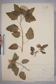 Nicandra physalodes herbarium specimen from Devoran, VC1 West Cornwall in 1901 by Mr Frederick Hamilton Davey.