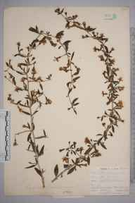 Lycium chinense herbarium specimen from Par Sands, VC2 East Cornwall in 1901 by Mr Allan Octavian Hume.