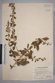 Lycium chinense herbarium specimen from Newton, VC29 Cambridgeshire in 1934 by Mr Job Edward Lousley.