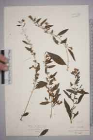 Lycium chinense herbarium specimen from Budleigh Salterton, VC3 South Devon in 1925 by Mr Isaac A Helsby.