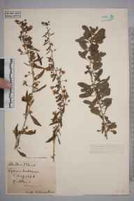 Lycium chinense herbarium specimen from Dunstable, VC20,VC30 in 1896 by S A Chambers.