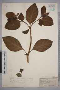 Atropa belladonna herbarium specimen from Farley, VC17 Surrey in 1927 by Mr Job Edward Lousley.