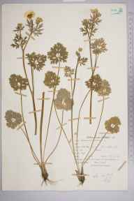 Ranunculus bulbosus herbarium specimen from River Kennet, VC22 Berkshire in 1963 by Peter Charles Holland.