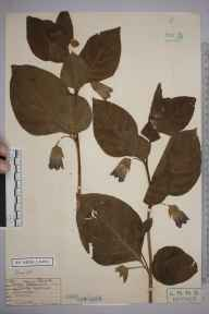 Atropa belladonna herbarium specimen from Caterham, VC17 Surrey in 1927 by D J Ward.
