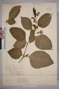 Atropa belladonna herbarium specimen from Oxted, VC17 Surrey in 1896.