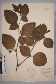 Atropa belladonna herbarium specimen from Wrotham, VC16 West Kent by Stafford Edwin Chandler.