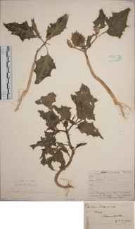 Datura stramonium herbarium specimen from Ryde, VC10 Isle of Wight in 1838 by A Hamburgh.