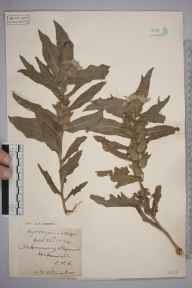 Hyoscyamus niger herbarium specimen from Whipsnade, VC20,VC24,VC30 in 1894 by S A Chambers.