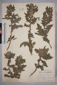 Hyoscyamus niger herbarium specimen from Brean Down, VC6 North Somerset in 1923 by Mr Job Edward Lousley.