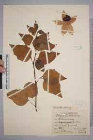 Physalis alkekengi herbarium specimen from Keston, VC16 West Kent in 1945 by Rev. Philip Henry Cooke.