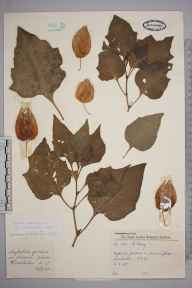 Physalis alkekengi herbarium specimen from Wimbledon, VC17 Surrey in 1957 by Charles Avery.