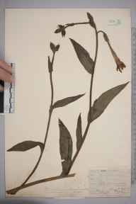 Nicotiana tabacum herbarium specimen from Hayes, VC16 West Kent in 1912 by William Henry Griffin.