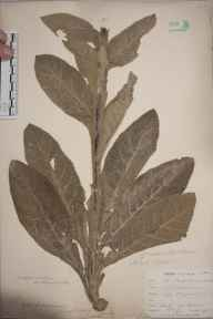 Verbascum thapsus herbarium specimen from Downe, VC16 West Kent in 1901 by William Henry Griffin.