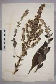 Verbascum lychnitis herbarium specimen from Twyford, Ambiguous locality (GB) in 1929 by Mr Isaac A Helsby.