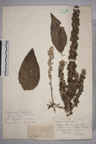 Verbascum lychnitis herbarium specimen from Bossington, VC5 South Somerset in 1907 by Rev. Edward Shearburn Marshall.