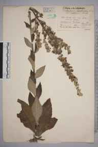 Verbascum lychnitis herbarium specimen from Farnborough,Green St Green, VC16 West Kent in 1937 by Mr Job Edward Lousley.