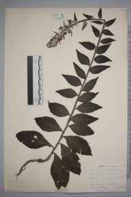 Verbascum lychnitis herbarium specimen from Keston, VC16 West Kent in 1902 by William Henry Griffin.