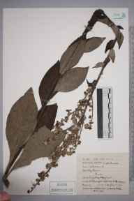 Verbascum lychnitis herbarium specimen from Marford Wood, The Roft, VC50 Denbighshire in 1916 by Mr Charles Waterfall.