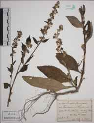 Verbascum lychnitis herbarium specimen from Amberley, VC13 West Sussex in 1895 by E C P.