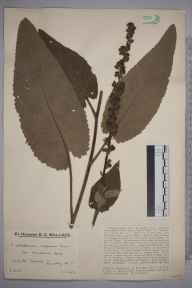 Verbascum nigrum herbarium specimen from White Downs, VC17 Surrey in 1930 by Mr Edward Charles Wallace.