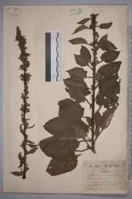 Verbascum nigrum herbarium specimen from Addington, VC17 Surrey in 1871 by Mr William Hadden Beeby.