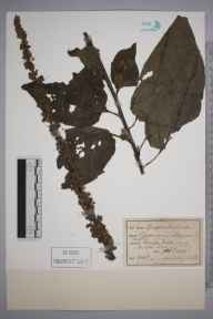 Verbascum nigrum herbarium specimen from Fittleworth, VC13 West Sussex in 1895 by M P.
