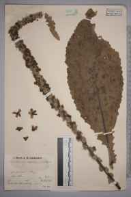 Verbascum thapsus x nigrum = V. x semialbum herbarium specimen from Cothill, VC22 Berkshire in 1935 by Mr Job Edward Lousley.