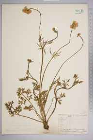Ranunculus bulbosus herbarium specimen from Twycross, VC55 Leicestershire in 1843 by Mr Frederick Townsend.
