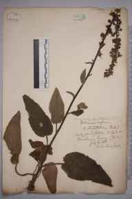Verbascum  herbarium specimen from Tilford, VC17 Surrey in 1888 by Rev. Edward Shearburn Marshall.