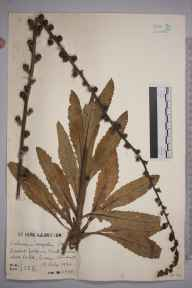 Verbascum virgatum herbarium specimen from Oxted, VC17 Surrey in 1942 by Mr Charles Edward Britton.