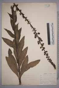 Verbascum virgatum herbarium specimen from Falmouth, VC1 West Cornwall in 1899 by Mr Allan Octavian Hume.