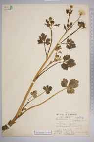 Ranunculus sardous herbarium specimen from Swanscombe, VC16 West Kent in 1919 by Rev. Philip Henry Cooke.